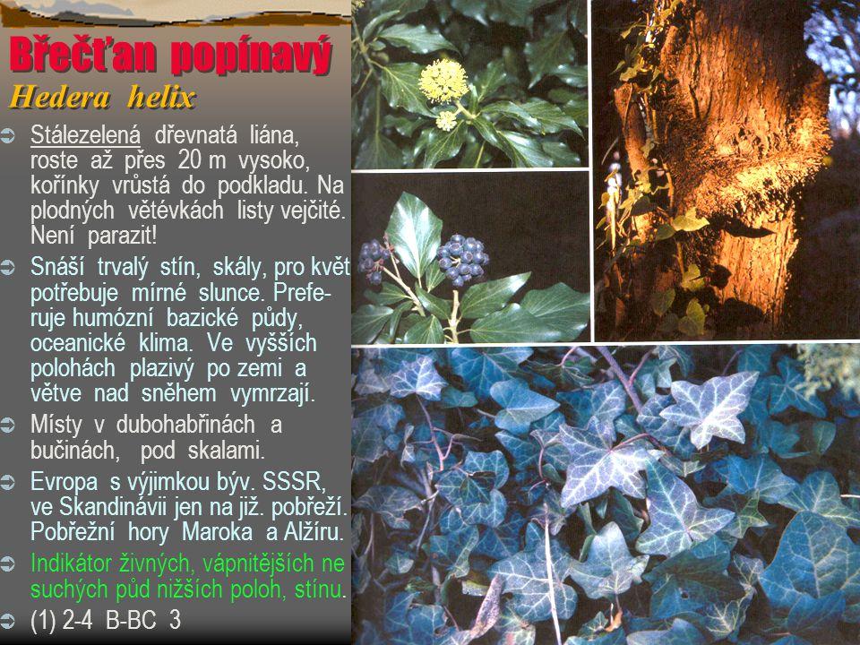 Břečťan popínavý Hedera helix  Stálezelená dřevnatá liána, roste až přes 20 m vysoko, kořínky vrůstá do podkladu. Na plodných větévkách listy vejčité
