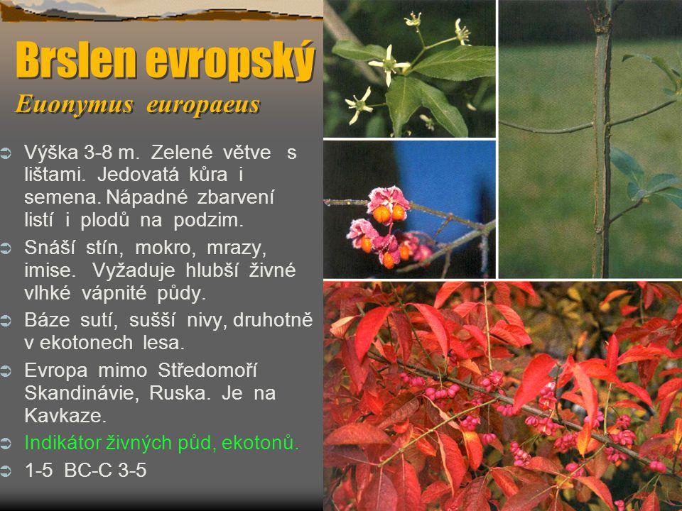 Brslen evropský Euonymus europaeus  Výška 3-8 m. Zelené větve s lištami. Jedovatá kůra i semena. Nápadné zbarvení listí i plodů na podzim.  Snáší st