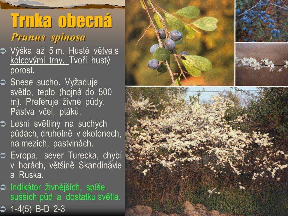 Trnka obecná Prunus spinosa  Výška až 5 m. Husté větve s kolcovými trny. Tvoří hustý porost.  Snese sucho. Vyžaduje světlo, teplo (hojná do 500 m).