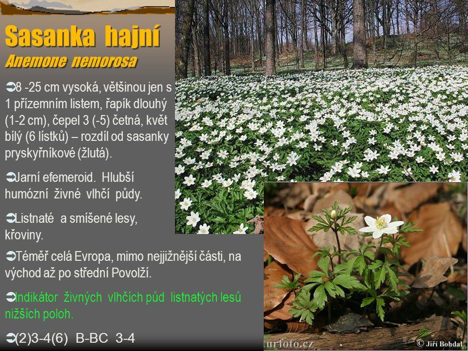 Sasanka hajní Anemone nemorosa Sasanka hajní Anemone nemorosa  8 -25 cm vysoká, většinou jen s 1 přízemním listem, řapík dlouhý (1-2 cm), čepel 3 (-5
