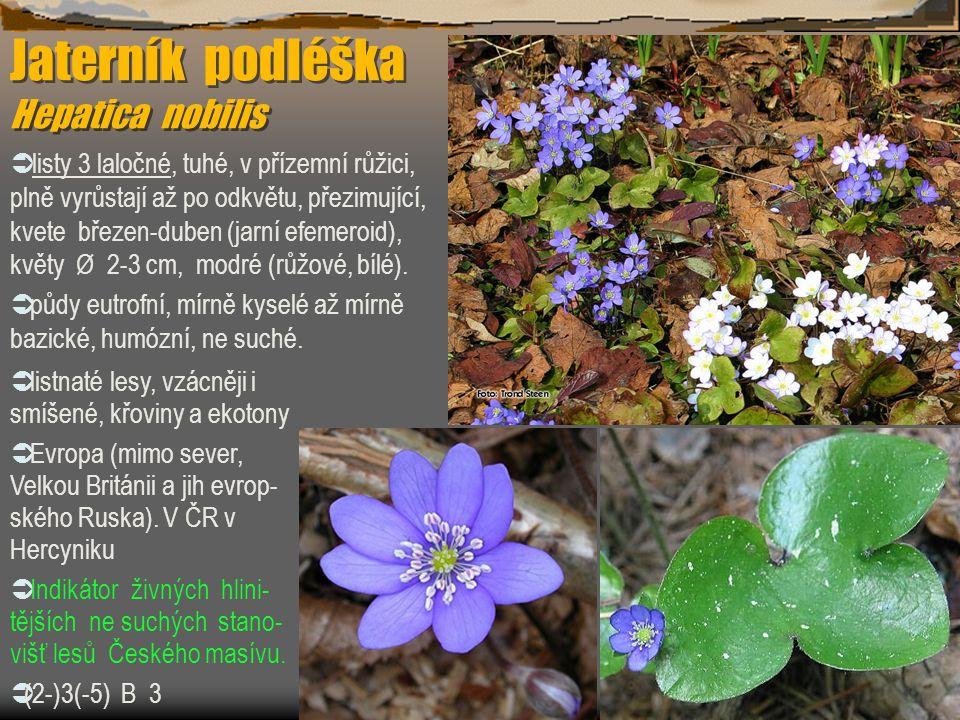 Jaterník podléška Hepatica nobilis  listy 3 laločné, tuhé, v přízemní růžici, plně vyrůstají až po odkvětu, přezimující, kvete březen-duben (jarní ef