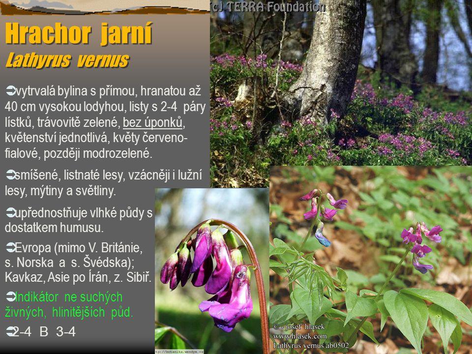Hrachor jarní Lathyrus vernus  vytrvalá bylina s přímou, hranatou až 40 cm vysokou lodyhou, listy s 2-4 páry lístků, trávovitě zelené, bez úponků, kv