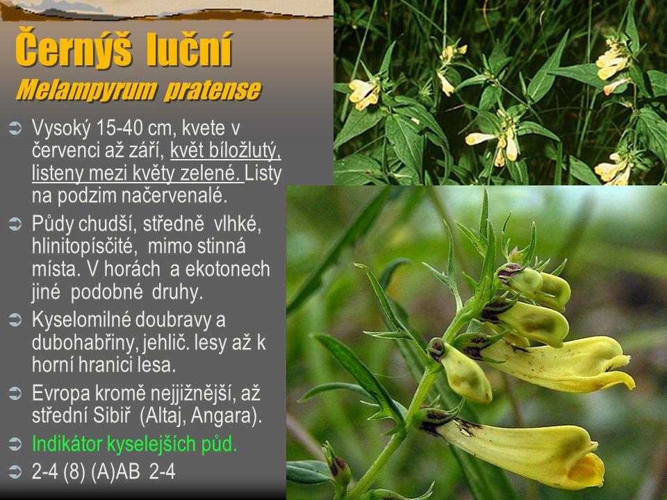 Černýš luční Melampyrum pratense  Vysoký 15-40 cm, kvete v červenci až září, květ bíložlutý, listeny mezi květy zelené. Listy na podzim načervenalé.