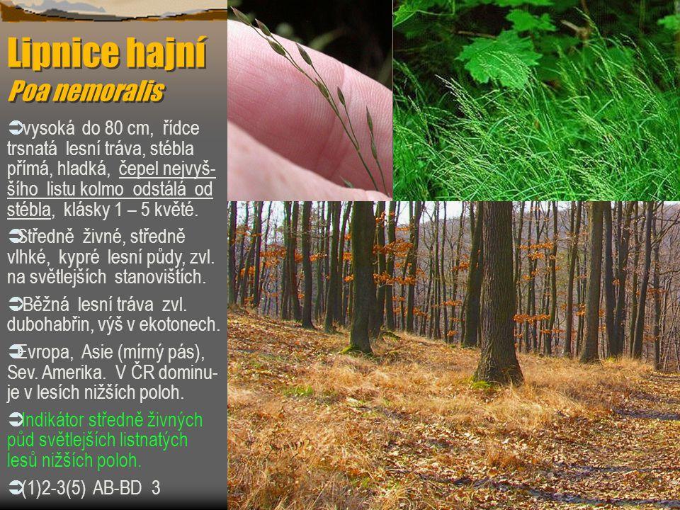 Lipnice hajní Poa nemoralis  vysoká do 80 cm, řídce trsnatá lesní tráva, stébla přímá, hladká, čepel nejvyš- šího listu kolmo odstálá od stébla, klás