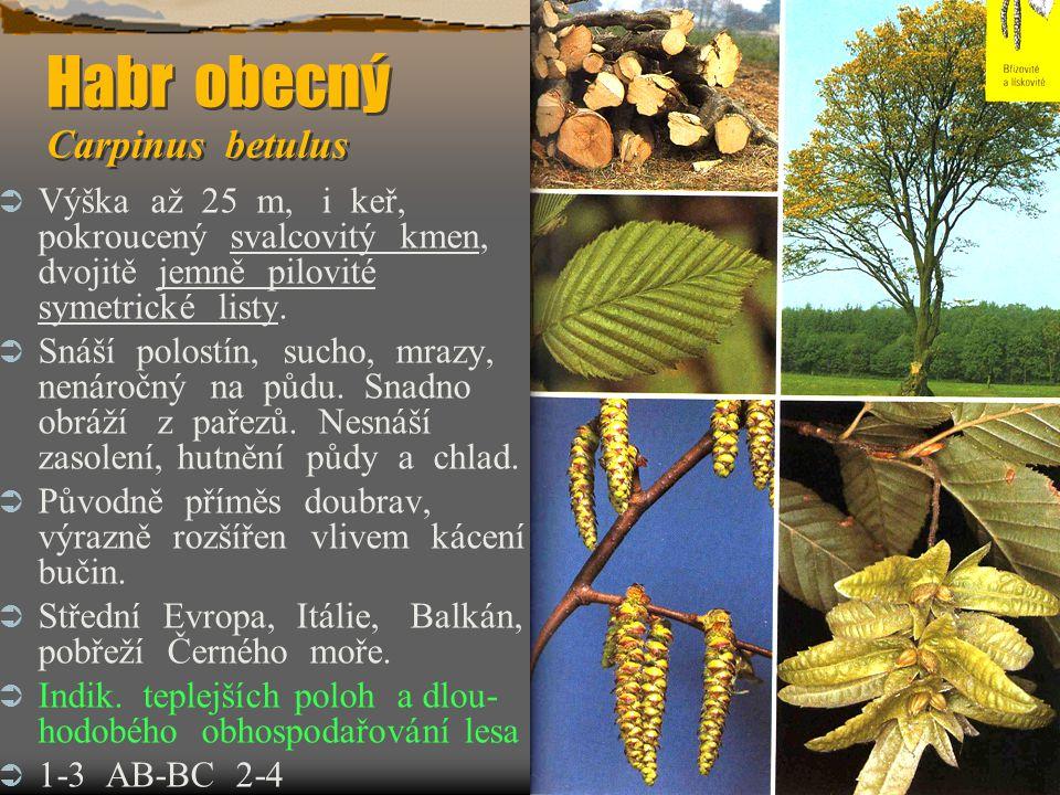 Habr obecný Carpinus betulus