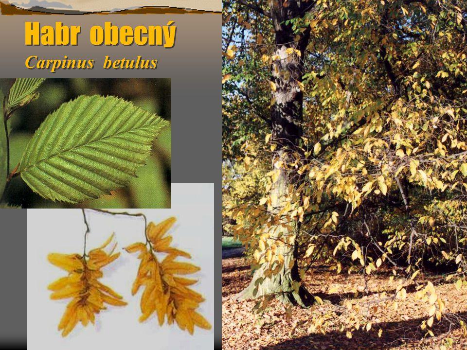 Sasanka hajní Anemone nemorosa Sasanka hajní Anemone nemorosa  8 -25 cm vysoká, většinou jen s 1 přízemním listem, řapík dlouhý (1-2 cm), čepel 3 (-5) četná, květ bílý (6 lístků) – rozdíl od sasanky pryskyřníkové (žlutá).