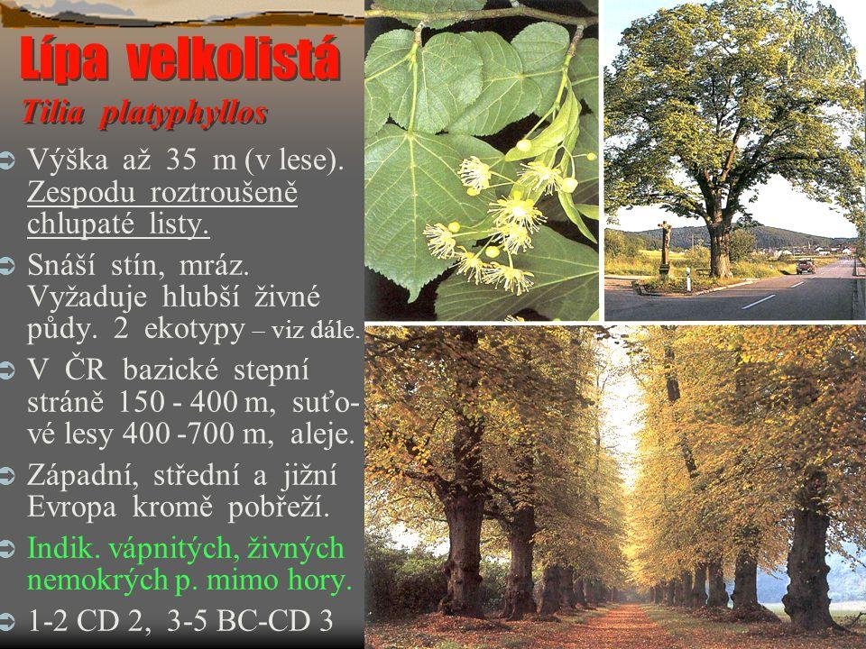 Lípa velkolistá Tilia platyphyllos  Výška až 35 m (v lese). Zespodu roztroušeně chlupaté listy.  Snáší stín, mráz. Vyžaduje hlubší živné půdy. 2 eko