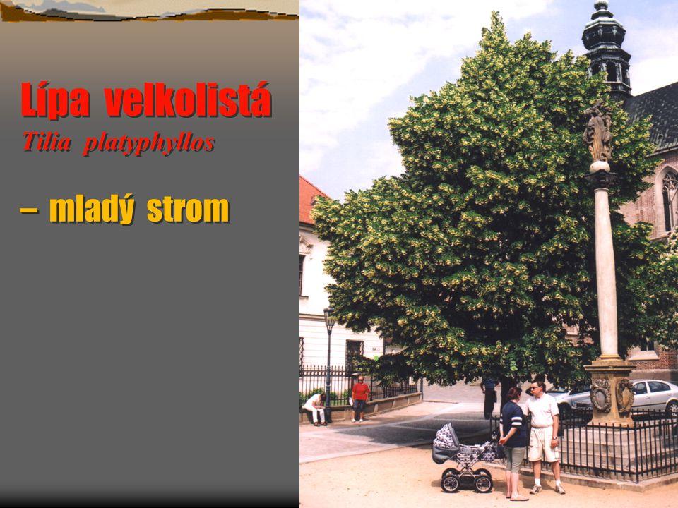 Střemcha hroznovitá Padus racemosa Střemcha hroznovitá Padus racemosa  Výška do 20 m, habitem podobná třešni, strom i keř.