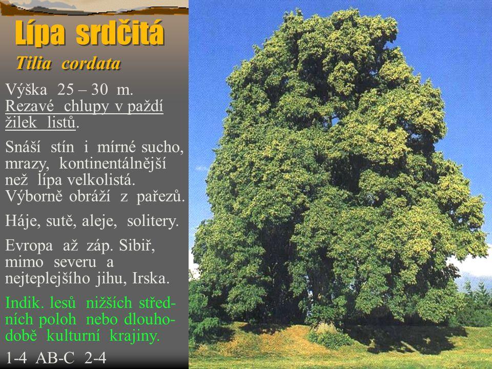 Lípa srdčitá Tilia cordata Výška 25 – 30 m. Rezavé chlupy v paždí žilek listů. Snáší stín i mírné sucho, mrazy, kontinentálnější než lípa velkolistá.