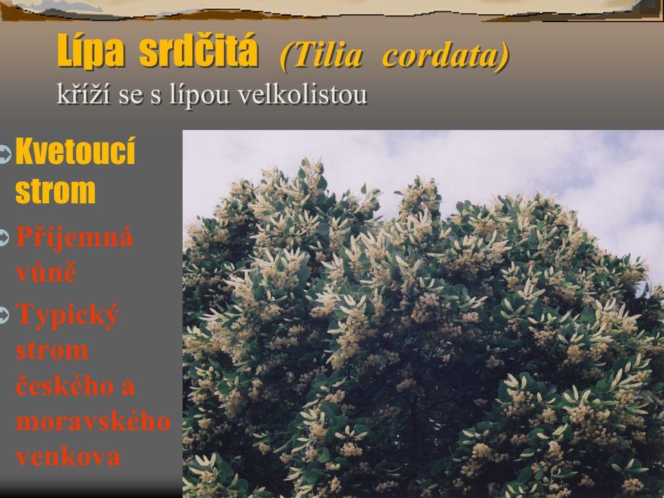  Výška do 8 m, lichozpeřené jedovaté listy, dřeň větví bílá, plodenství v plochých latách, černofialové.