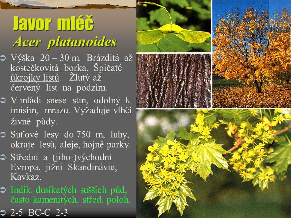 Svída krvavá Swida sanguinea Výška do 6 m, květy ve vrcholících, listy podobné dřínu, na podzim červené.