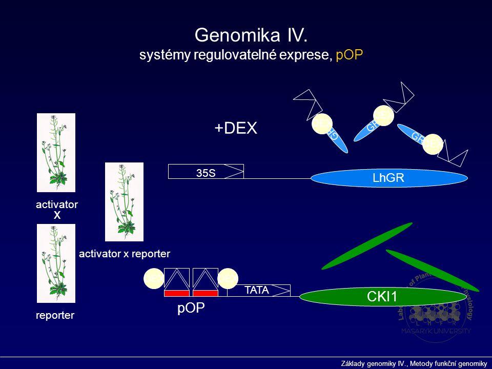 Základy genomiky IV., Metody funkční genomiky GR 35S LhGR pOP TATA CKI1 activator reporter activator x reporter DEX +DEX DEX x Genomika IV. systémy re