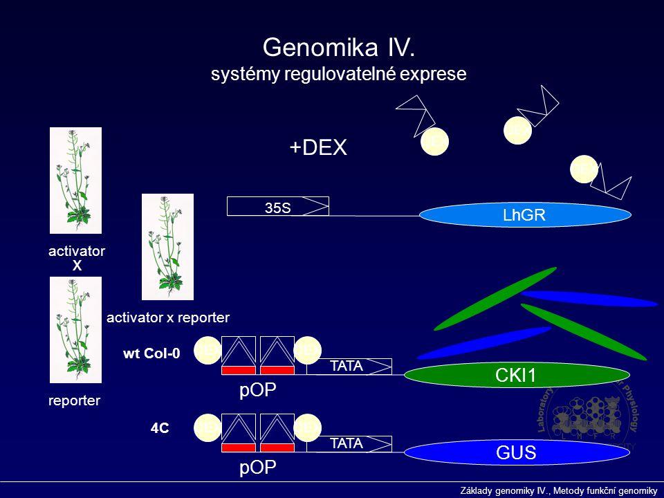 Základy genomiky IV., Metody funkční genomiky 35S LhGR pOP TATA CKI1 activator reporter activator x reporter DEX +DEX DEX x pOP TATA GUS DEX wt Col-0