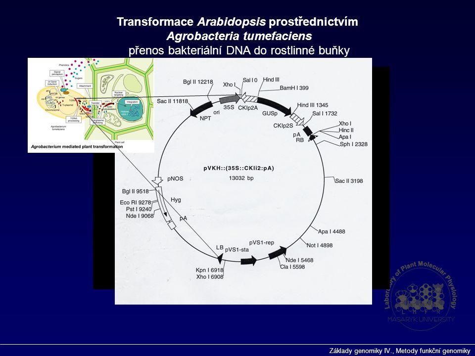 Základy genomiky IV., Metody funkční genomiky Transformace Arabidopsis prostřednictvím Agrobacteria tumefaciens přenos bakteriální DNA do rostlinné bu