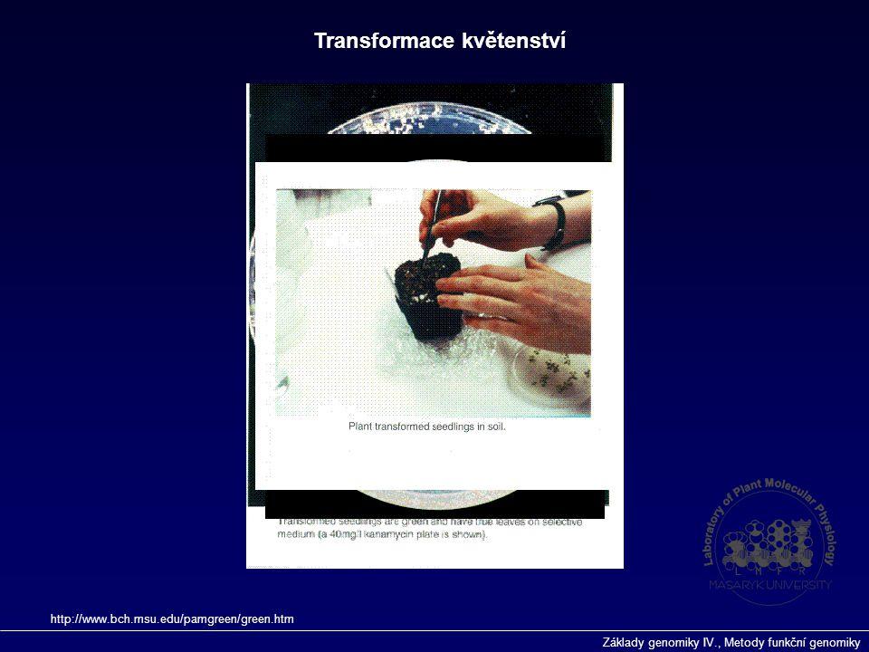 Základy genomiky IV., Metody funkční genomiky Transformace květenství http://www.bch.msu.edu/pamgreen/green.htm