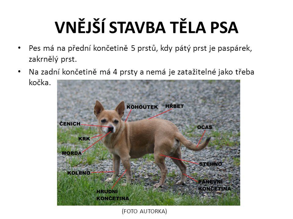 VNĚJŠÍ STAVBA TĚLA PSA Pes má na přední končetině 5 prstů, kdy pátý prst je paspárek, zakrnělý prst. Na zadní končetině má 4 prsty a nemá je zatažitel
