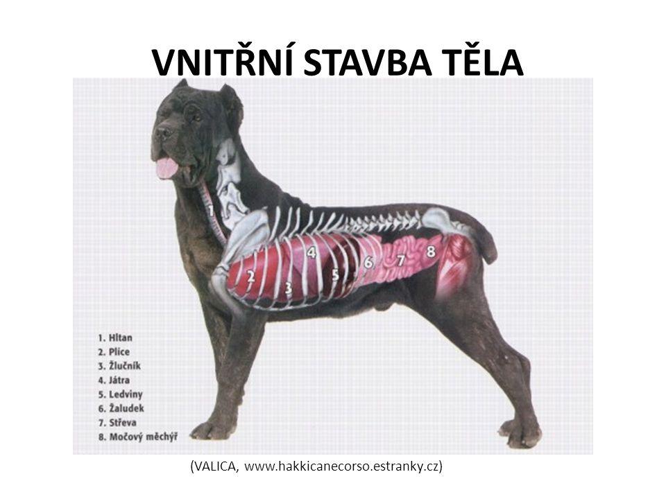 VNITŘNÍ STAVBA TĚLA (VALICA, www.hakkicanecorso.estranky.cz)