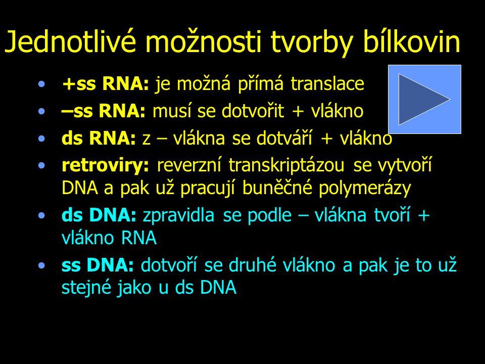 Jednotlivé možnosti tvorby bílkovin +ss RNA: je možná přímá translace –ss RNA: musí se dotvořit + vlákno ds RNA: z – vlákna se dotváří + vlákno retroviry: reverzní transkriptázou se vytvoří DNA a pak už pracují buněčné polymerázy ds DNA: zpravidla se podle – vlákna tvoří + vlákno RNA ss DNA: dotvoří se druhé vlákno a pak je to už stejné jako u ds DNA