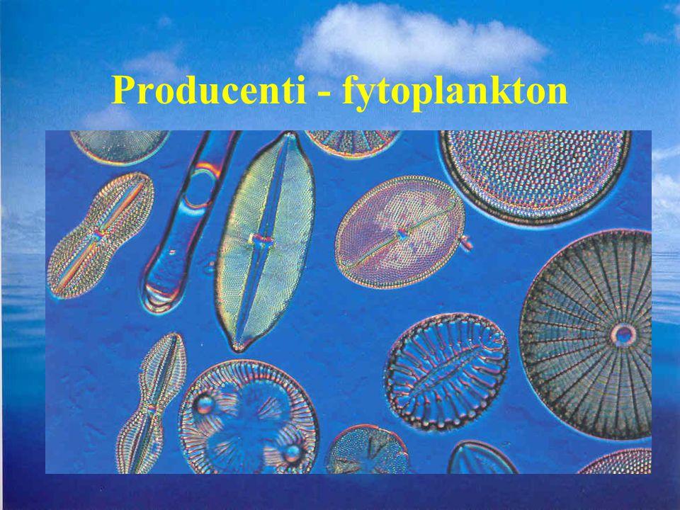 Producenti - fytoplankton