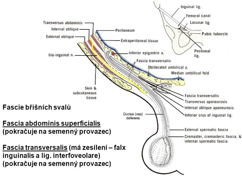 Fascie břišních svalů Fascia abdominis superficialis (pokračuje na semenný provazec) Fascia transversalis (má zesílení – falx inguinalis a lig. interf