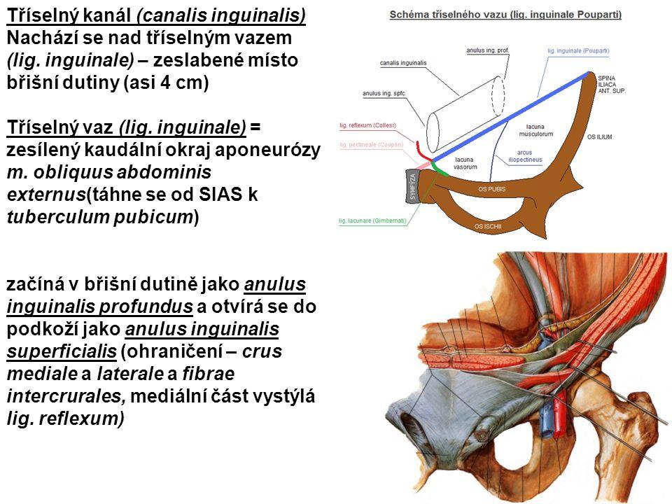 Tříselný kanál (canalis inguinalis) Nachází se nad tříselným vazem (lig. inguinale) – zeslabené místo břišní dutiny (asi 4 cm) Tříselný vaz (lig. ingu