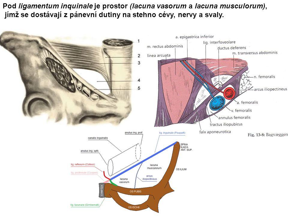 Pod ligamentum inquinale je prostor (lacuna vasorum a lacuna musculorum), jímž se dostávají z pánevní dutiny na stehno cévy, nervy a svaly.