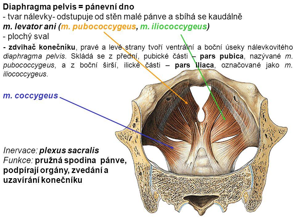 Diaphragma pelvis = pánevní dno - tvar nálevky- odstupuje od stěn malé pánve a sbíhá se kaudálně m. levator ani (m. pubococcygeus, m. iliococcygeus) -
