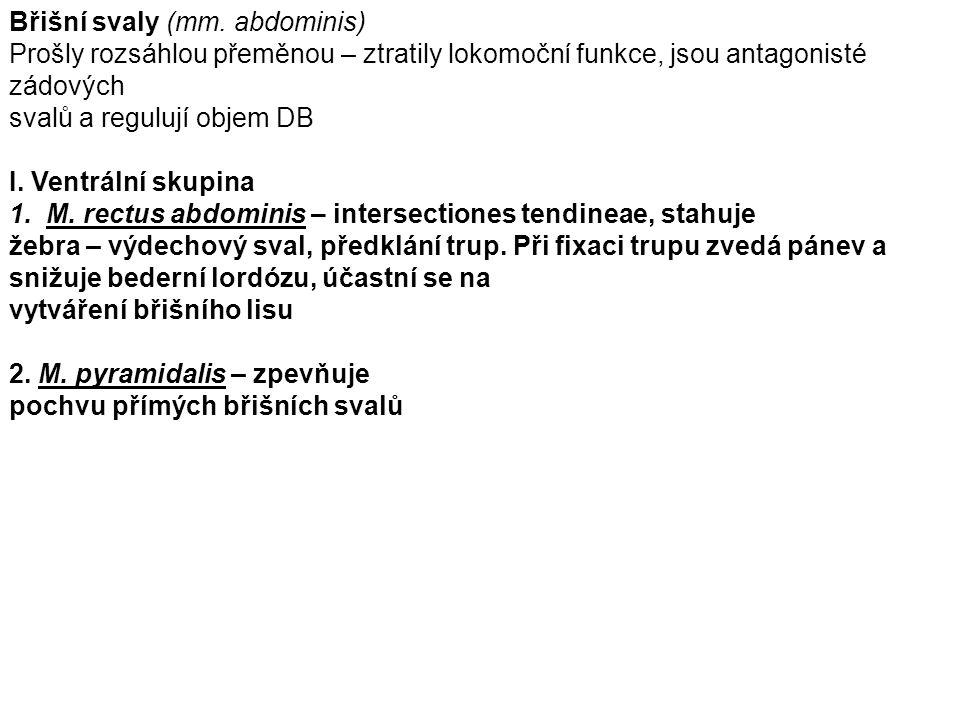 Břišní svaly (mm.