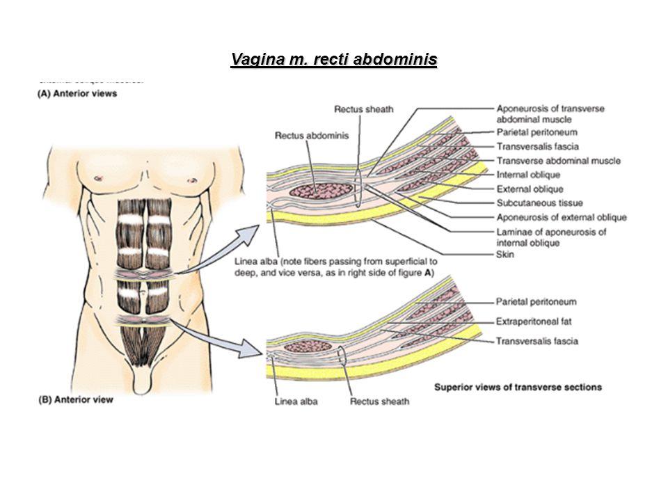 III.Dorzální skupina břišních svalů M.