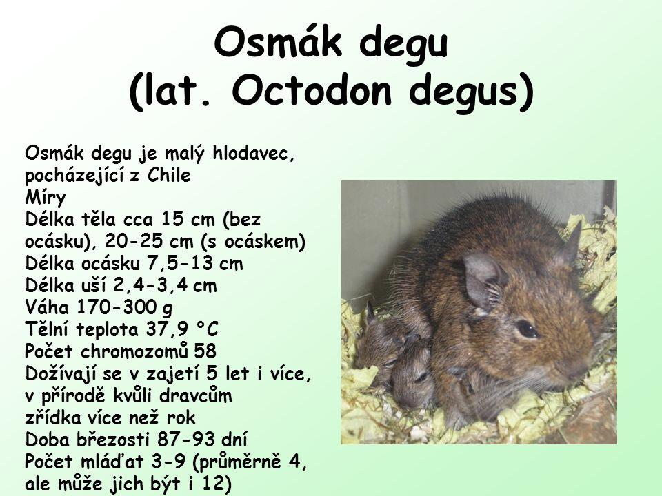 Osmák degu (lat. Octodon degus) Osmák degu je malý hlodavec, pocházející z Chile Míry Délka těla cca 15 cm (bez ocásku), 20-25 cm (s ocáskem) Délka oc