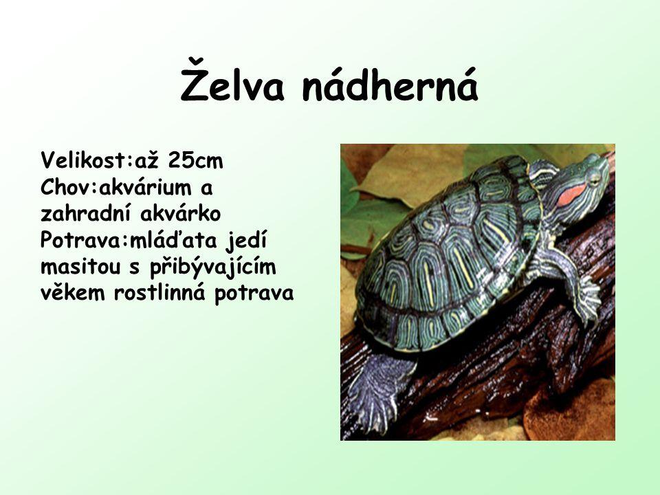 Želva nádherná Velikost:až 25cm Chov:akvárium a zahradní akvárko Potrava:mláďata jedí masitou s přibývajícím věkem rostlinná potrava