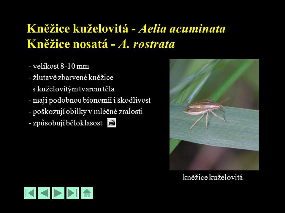 Kněžice kuželovitá - Aelia acuminata Kněžice nosatá - A. rostrata - velikost 8-10 mm - žlutavě zbarvené kněžice s kuželovitým tvarem těla - mají podob