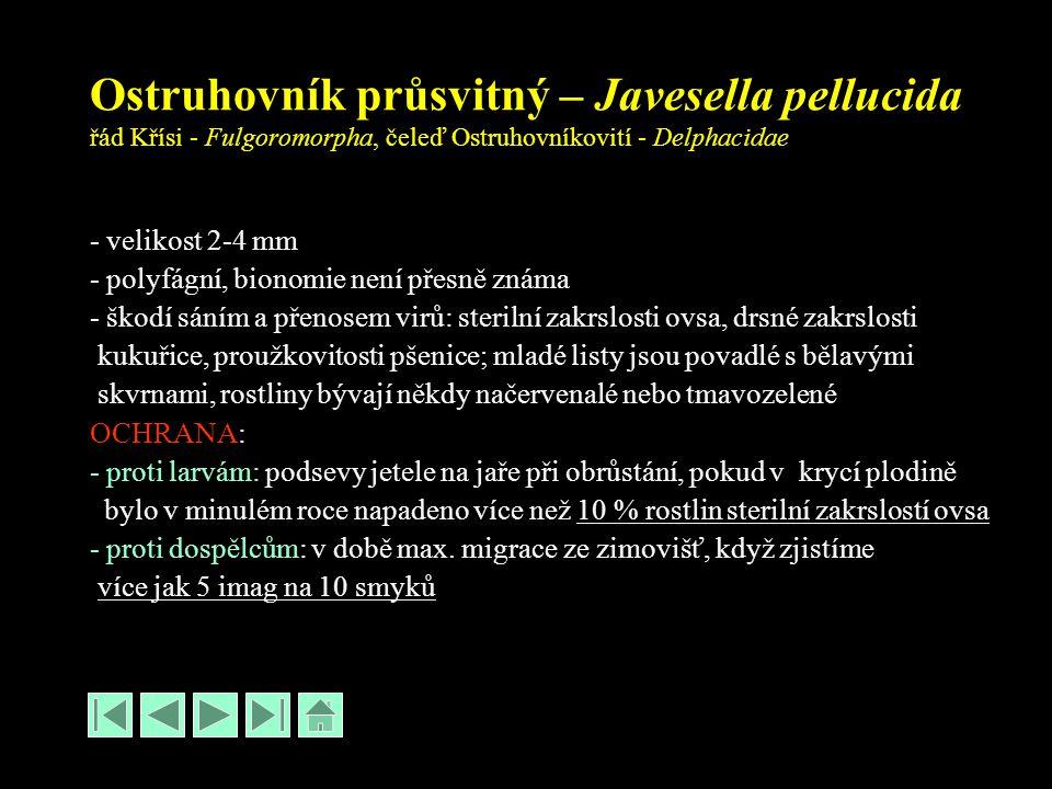 Ostruhovník průsvitný – Javesella pellucida řád Křísi - Fulgoromorpha, čeleď Ostruhovníkovití - Delphacidae - velikost 2-4 mm - polyfágní, bionomie není přesně známa - škodí sáním a přenosem virů: sterilní zakrslosti ovsa, drsné zakrslosti kukuřice, proužkovitosti pšenice; mladé listy jsou povadlé s bělavými skvrnami, rostliny bývají někdy načervenalé nebo tmavozelené OCHRANA: - proti larvám: podsevy jetele na jaře při obrůstání, pokud v krycí plodině bylo v minulém roce napadeno více než 10 % rostlin sterilní zakrslostí ovsa - proti dospělcům: v době max.