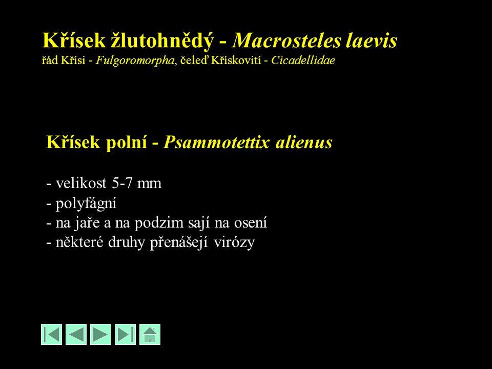 Křísek žlutohnědý - Macrosteles laevis řád Křísi - Fulgoromorpha, čeleď Křískovití - Cicadellidae Křísek polní - Psammotettix alienus - velikost 5-7 mm - polyfágní - na jaře a na podzim sají na osení - některé druhy přenášejí virózy