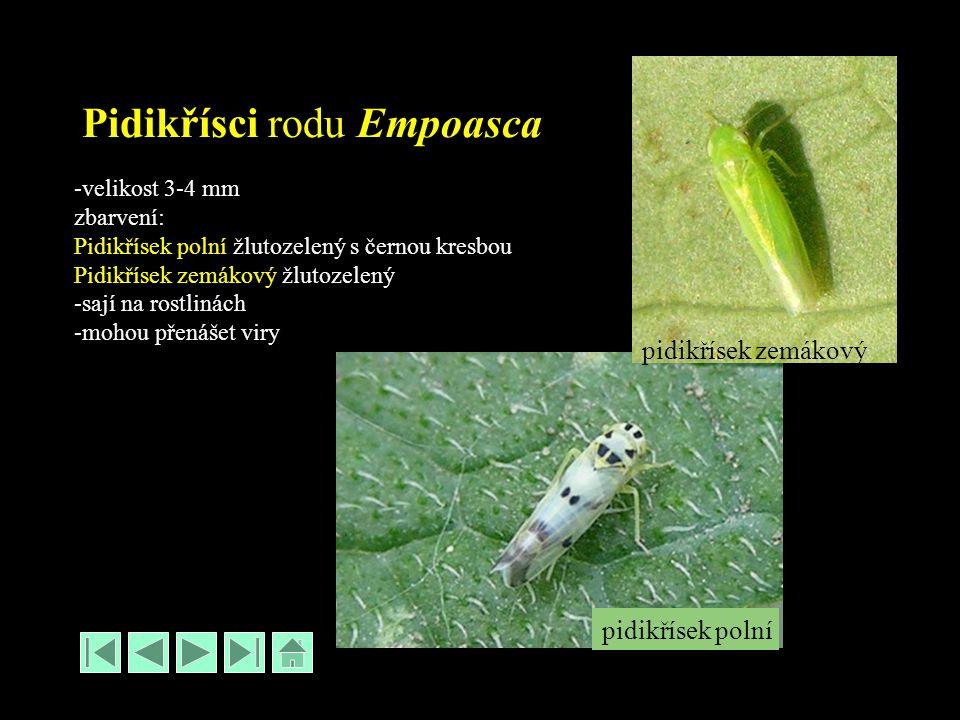 Pidikřísci rodu Empoasca -velikost 3-4 mm zbarvení: Pidikřísek polní žlutozelený s černou kresbou Pidikřísek zemákový žlutozelený -sají na rostlinách