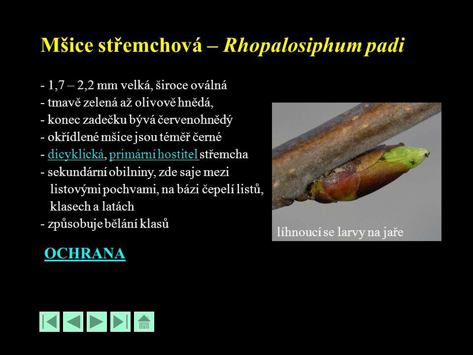 Mšice střemchová – Rhopalosiphum padi - 1,7 – 2,2 mm velká, široce oválná - tmavě zelená až olivově hnědá, - konec zadečku bývá červenohnědý - okřídlené mšice jsou téměř černé - dicyklická, primární hostitel střemchadicyklickáprimární hostitel - sekundární obilniny, zde saje mezi listovými pochvami, na bázi čepelí listů, klasech a latách - způsobuje bělání klasů OCHRANA líhnoucí se larvy na jaře