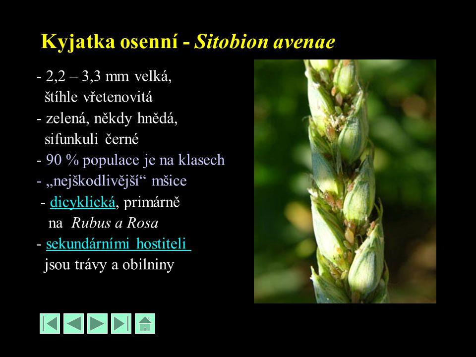 """Kyjatka osenní - Sitobion avenae - 2,2 – 3,3 mm velká, štíhle vřetenovitá - zelená, někdy hnědá, sifunkuli černé - 90 % populace je na klasech - """"nejškodlivější mšice - dicyklická, primárnědicyklická na Rubus a Rosa - sekundárními hostitelisekundárními hostiteli jsou trávy a obilniny"""
