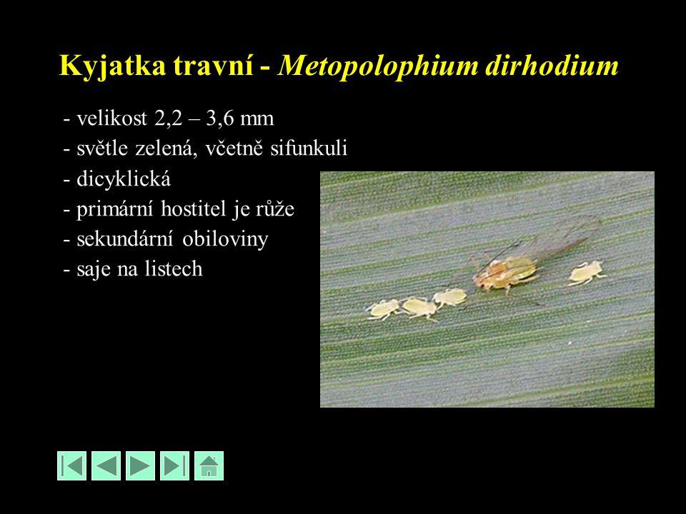 Kyjatka travní - Metopolophium dirhodium - velikost 2,2 – 3,6 mm - světle zelená, včetně sifunkuli - dicyklická - primární hostitel je růže - sekundární obiloviny - saje na listech