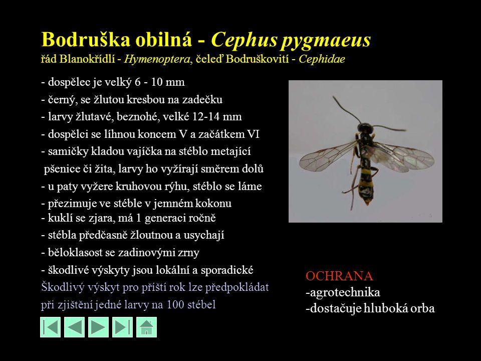 Bodruška obilná - Cephus pygmaeus řád Blanokřídlí - Hymenoptera, čeleď Bodruškovití - Cephidae - dospělec je velký 6 - 10 mm - černý, se žlutou kresbou na zadečku - larvy žlutavé, beznohé, velké 12-14 mm - dospělci se líhnou koncem V a začátkem VI - samičky kladou vajíčka na stéblo metající pšenice či žita, larvy ho vyžírají směrem dolů - u paty vyžere kruhovou rýhu, stéblo se láme - přezimuje ve stéble v jemném kokonu - kuklí se zjara, má 1 generaci ročně - stébla předčasně žloutnou a usychají - běloklasost se zadinovými zrny - škodlivé výskyty jsou lokální a sporadické Škodlivý výskyt pro příští rok lze předpokládat při zjištění jedné larvy na 100 stébel OCHRANA -agrotechnika -dostačuje hluboká orba