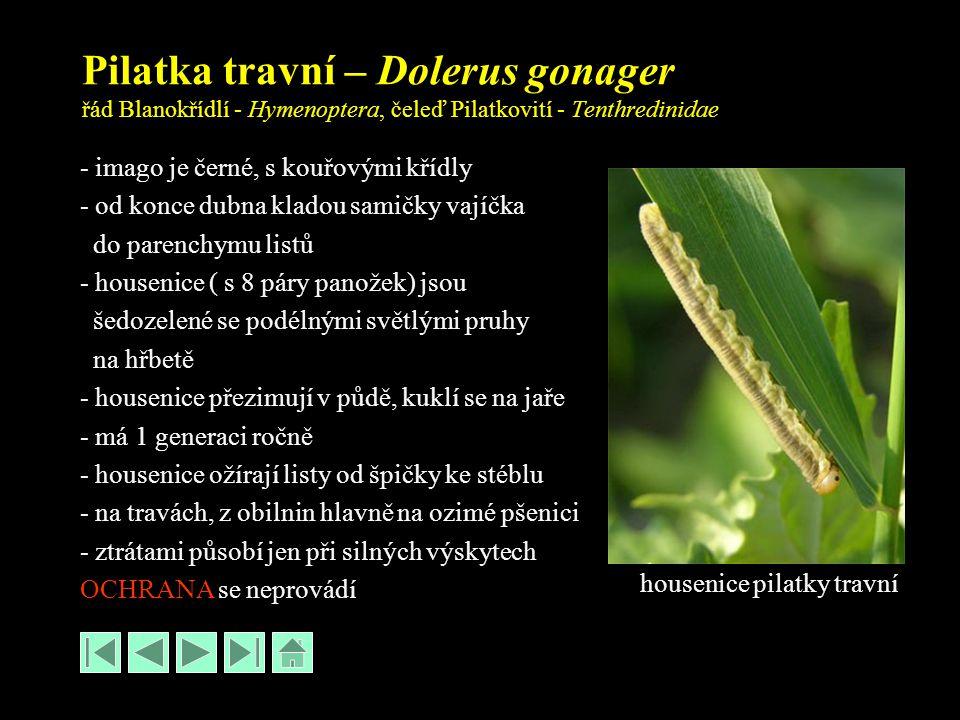 Pilatka travní – Dolerus gonager řád Blanokřídlí - Hymenoptera, čeleď Pilatkovití - Tenthredinidae - imago je černé, s kouřovými křídly - od konce dubna kladou samičky vajíčka do parenchymu listů - housenice ( s 8 páry panožek) jsou šedozelené se podélnými světlými pruhy na hřbetě - housenice přezimují v půdě, kuklí se na jaře - má 1 generaci ročně - housenice ožírají listy od špičky ke stéblu - na travách, z obilnin hlavně na ozimé pšenici - ztrátami působí jen při silných výskytech OCHRANA se neprovádí housenice pilatky travní
