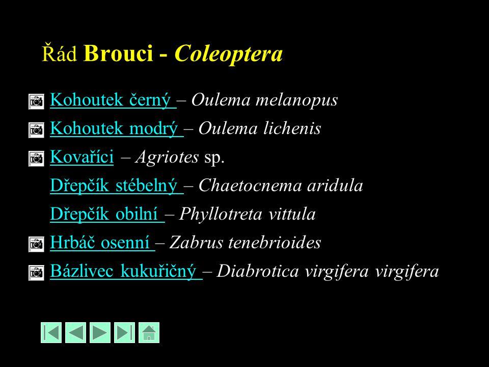 Řád Brouci - Coleoptera Kohoutek černý Kohoutek černý – Oulema melanopus Kohoutek modrý Kohoutek modrý – Oulema lichenis KovaříciKovaříci – Agriotes sp.