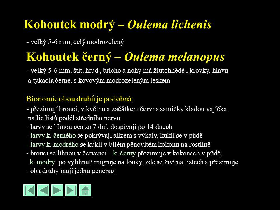Kohoutek modrý – Oulema lichenis - velký 5-6 mm, celý modrozelený Kohoutek černý – Oulema melanopus - velký 5-6 mm, štít, hruď, břicho a nohy má žlutohnědé, krovky, hlavu a tykadla černé, s kovovým modrozeleným leskem Bionomie obou druhů je podobná: - přezimují brouci, v květnu a začátkem června samičky kladou vajíčka na líc listů podél středního nervu - larvy se líhnou cca za 7 dní, dospívají po 14 dnech - larvy k.