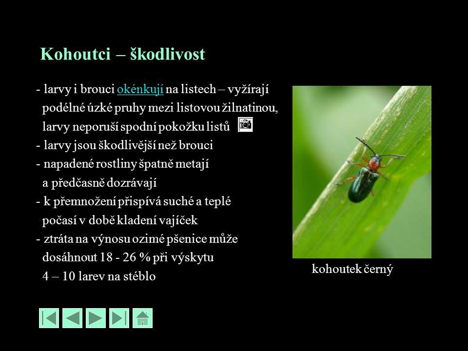 Kohoutci – škodlivost - larvy i brouci okénkují na listech – vyžírajíokénkují podélné úzké pruhy mezi listovou žilnatinou, larvy neporuší spodní pokožku listů - larvy jsou škodlivější než brouci - napadené rostliny špatně metají a předčasně dozrávají - k přemnožení přispívá suché a teplé počasí v době kladení vajíček - ztráta na výnosu ozimé pšenice může dosáhnout 18 - 26 % při výskytu 4 – 10 larev na stéblo kohoutek černý