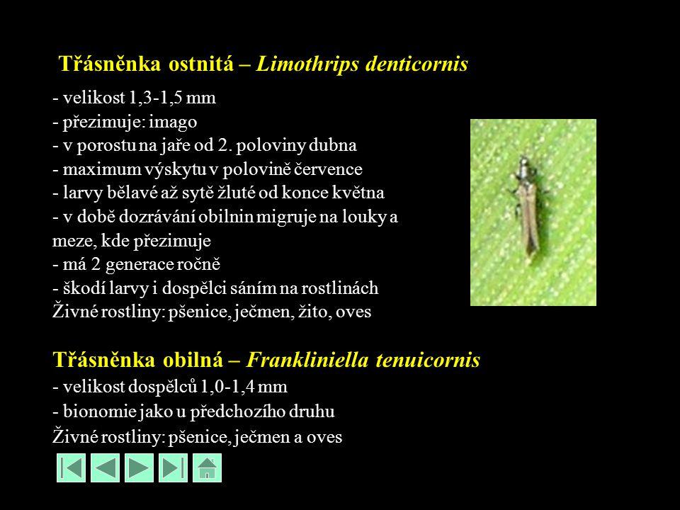 Třásněnka ostnitá – Limothrips denticornis - velikost 1,3-1,5 mm - přezimuje: imago - v porostu na jaře od 2. poloviny dubna - maximum výskytu v polov