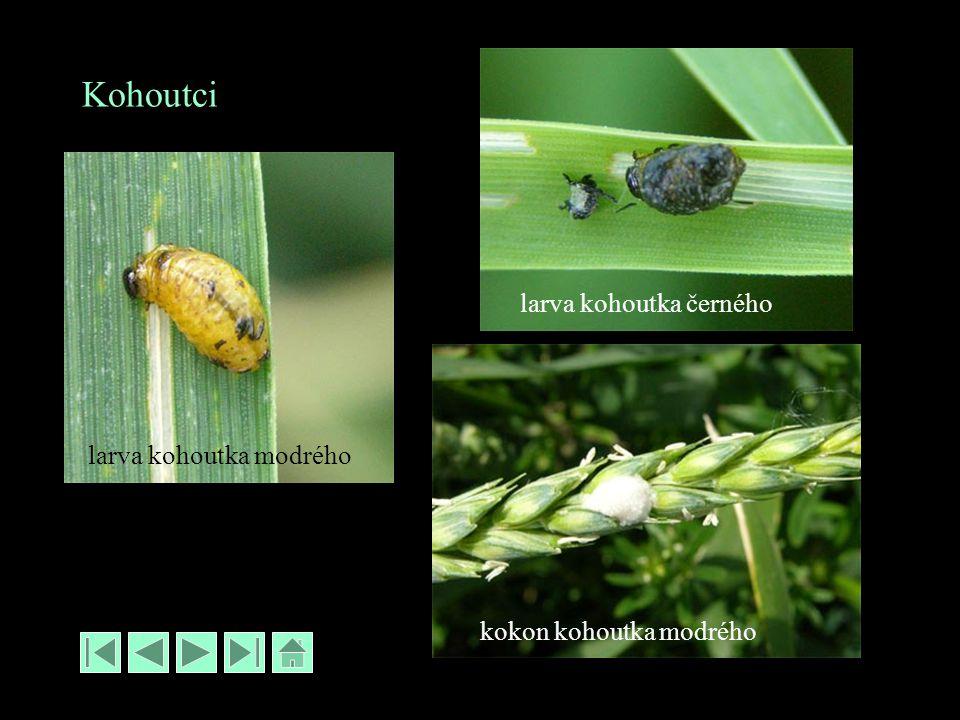Kohoutci larva kohoutka modrého larva kohoutka černého kokon kohoutka modrého