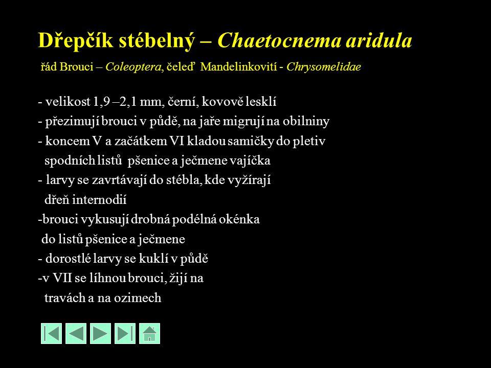 Dřepčík stébelný – Chaetocnema aridula řád Brouci – Coleoptera, čeleď Mandelinkovití - Chrysomelidae - velikost 1,9 –2,1 mm, černí, kovově lesklí - přezimují brouci v půdě, na jaře migrují na obilniny - koncem V a začátkem VI kladou samičky do pletiv spodních listů pšenice a ječmene vajíčka - larvy se zavrtávají do stébla, kde vyžírají dřeň internodií -brouci vykusují drobná podélná okénka do listů pšenice a ječmene - dorostlé larvy se kuklí v půdě -v VII se líhnou brouci, žijí na travách a na ozimech