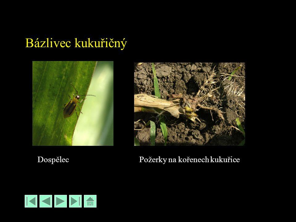 Bázlivec kukuřičný Požerky na kořenech kukuřiceDospělec
