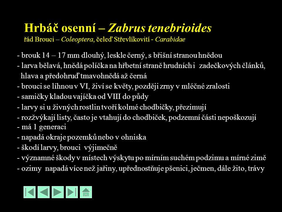 Hrbáč osenní – Zabrus tenebrioides řád Brouci – Coleoptera, čeleď Střevlíkovití - Carabidae - brouk 14 – 17 mm dlouhý, leskle černý, s břišní stranou