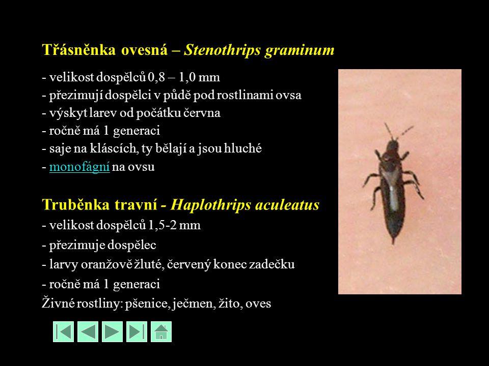 Třásněnka ovesná – Stenothrips graminum - velikost dospělců 0,8 – 1,0 mm - přezimují dospělci v půdě pod rostlinami ovsa - výskyt larev od počátku čer