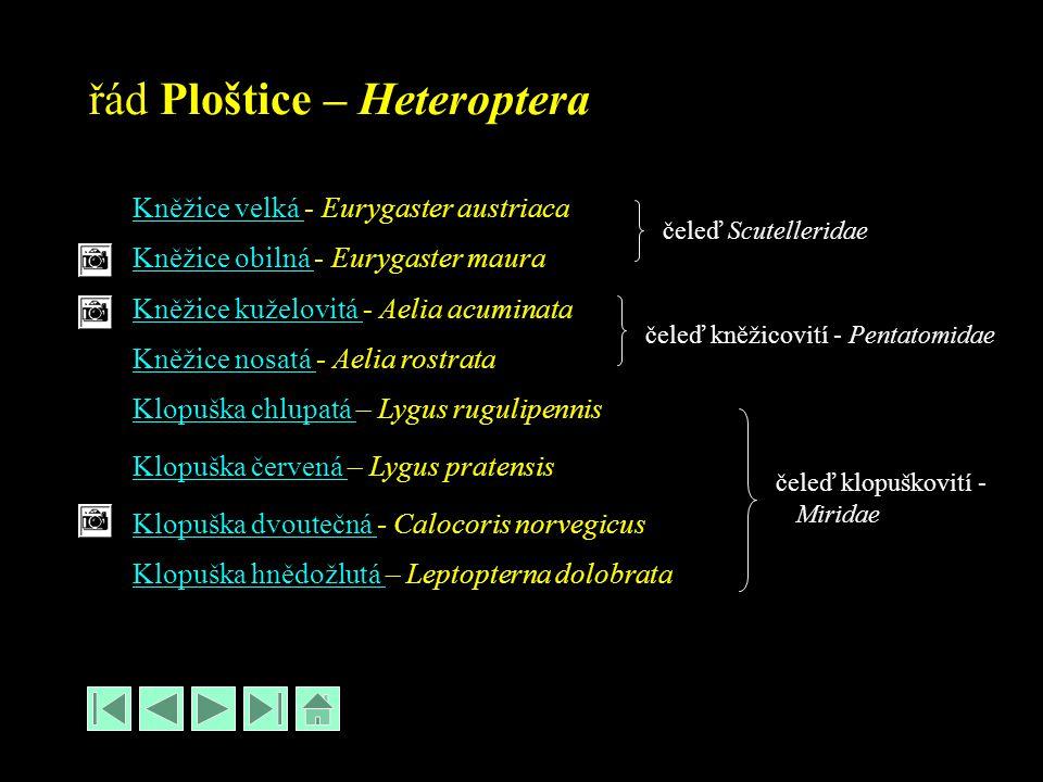 řád Ploštice – Heteroptera Kněžice velká Kněžice velká - Eurygaster austriaca Kněžice obilná - Eurygaster maura Kněžice obilná Kněžice kuželovitá Kněžice kuželovitá - Aelia acuminata Kněžice nosatá Kněžice nosatá - Aelia rostrata Klopuška chlupatá Klopuška chlupatá – Lygus rugulipennis Klopuška červená Klopuška červená – Lygus pratensis Klopuška dvoutečná Klopuška dvoutečná - Calocoris norvegicus Klopuška hnědožlutá Klopuška hnědožlutá – Leptopterna dolobrata čeleď Scutelleridae čeleď kněžicovití - Pentatomidae čeleď klopuškovití - Miridae